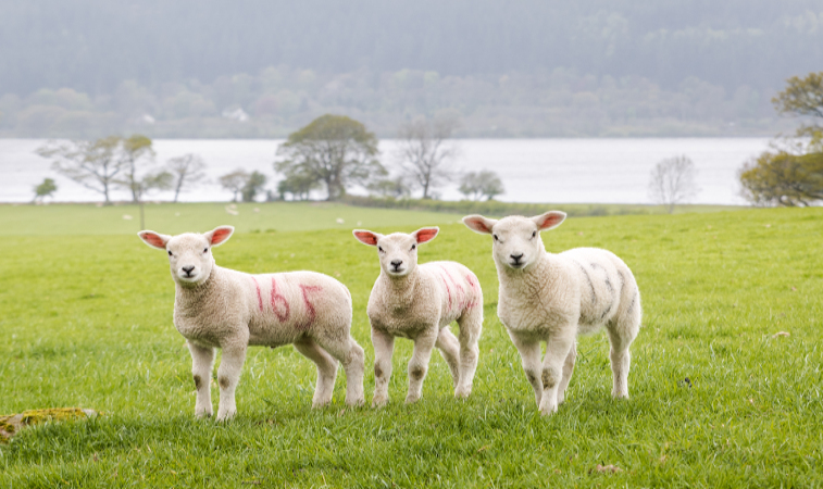 lake district lambs